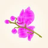 Purpurroter Stamm der schönen Orchidee mit lokalisierten Weinlesehand der Blumen und der Knospen der Nahaufnahme zeichnen Vektor lizenzfreie abbildung