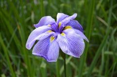 Purpurroter Teichblumenabschluß oben lizenzfreie stockbilder