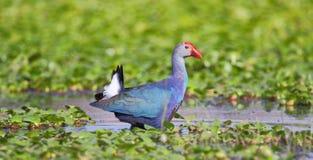 Purpurroter Teichhuhnvogel Lizenzfreies Stockfoto
