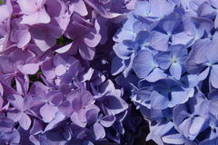 Purpurroter und blauer Hydrangea Stockfotografie