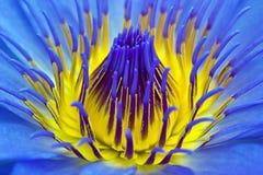 Purpurroter Wasserlilienabschluß oben Lizenzfreie Stockbilder