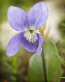 Purpurroter Wildflower stockbilder