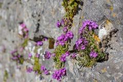 Purpurroter Zierpflanzenbau auf der Seite einer Schlosswand lizenzfreies stockfoto