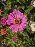 Purpurroter Zinnia in einem unscharfen Hintergrund lizenzfreie stockfotografie