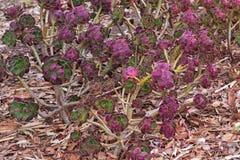 Purpurrotes Aeonium arboreum im Grün mit den purpurroten Tipps, auch genannt t Lizenzfreie Stockbilder