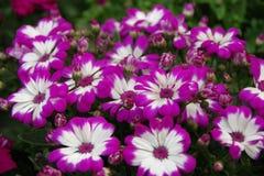 Purpurrotes afrikanisches Gänseblümchen stockfotos