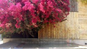 Purpurrotes altes Bouganvilla über dem Wasser Stockbilder
