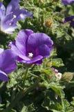 Purpurrotes blühendes alyogyne alias ein lila Hibiscus lizenzfreie stockfotos