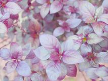 Purpurrotes Blatt Stockfoto