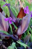 Purpurrotes Blatt Cannas u. purpurrote Louisiana-Iris Lizenzfreie Stockfotos