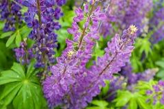Purpurrotes Blume Lupinemakro, Abschluss oben Blühende Lupineblumen in der Wiese Helle und gesättigte weiche Farben, verwischt Stockbilder