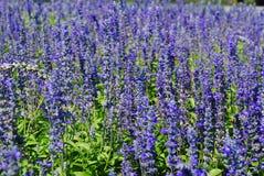 Purpurrotes Blumen-Feld Lizenzfreie Stockfotografie