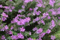 Purpurrotes Blumen-Grafik-Muster Stockbilder