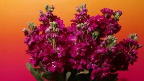 Purpurrotes Blumenc$zeit-versehen auf Lager stock video