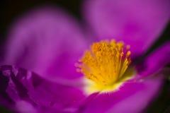 Purpurrotes Blumendetail der Felsenrose Stockbilder