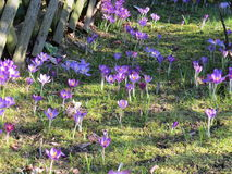 Purpurrotes Blumenfeld auf Gras Lizenzfreie Stockbilder
