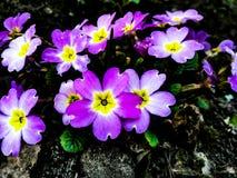Purpurrotes Blumenfeld mit vielen kleinen Blumen stockfoto
