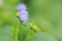 Purpurrotes Blumengras Lizenzfreie Stockfotografie