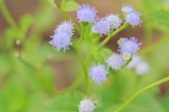 Purpurrotes Blumengras Stockbild