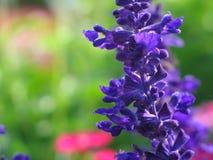 Purpurrotes Blumenmakro Stockfoto