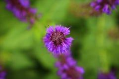 Purpurrotes Blumenspitze Makro fokussiert Lizenzfreies Stockfoto