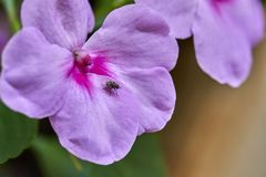 Purpurrotes Blumenwachsen in der Natur stockbilder
