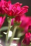 Purpurrotes Chrysantheme-Portrait Stockfotos