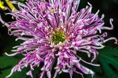 Purpurrotes Chrysanthemen-Köpfchen-Nahaufnahme-Detail Stockbilder