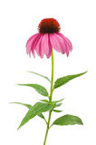 Purpurrotes Coneflower Stockbilder