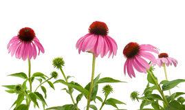 Purpurrotes Coneflowers Stockfoto