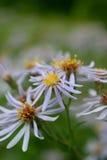 Purpurrotes Detail der Aster-(Symphyotrichum) Lizenzfreies Stockfoto