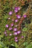 Purpurrotes Dewplant stockfotografie