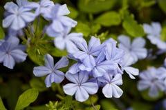 Purpurrotes Frühlings-Blumen-Blüten-Makro Lizenzfreie Stockbilder