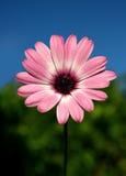 Purpurrotes Gänseblümchen Stockbilder