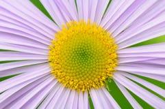 Purpurrotes Gänseblümchen Stockbild