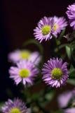 Purpurrotes Gänseblümchen Stockfoto