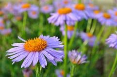 Purpurrotes Gänseblümchen (Gänseblümchen) im Garten Lizenzfreie Stockfotos