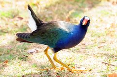 Purpurrotes Gallinule Anstarren stockfotos