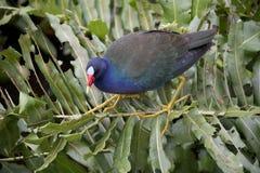 Purpurrotes Gallinule, das entlang den Stamm eines großen Farns in einem Florida-Sumpfgebiet geht stockfotos