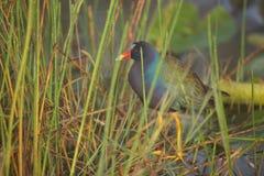 Purpurrotes Gallinule in den Sumpfgebieten Lizenzfreies Stockfoto