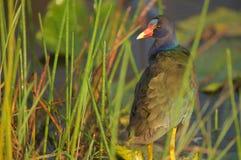 Purpurrotes Gallinule in den Sumpfgebieten Lizenzfreie Stockfotos