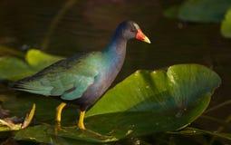 Purpurrotes Gallinule in den Sumpfgebieten Stockfoto