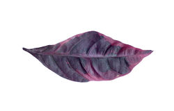 Purpurrotes griff Blatt lokalisiert auf weißem Hintergrund Lizenzfreie Stockfotos