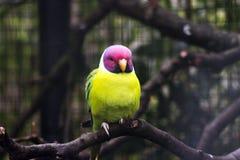 Purpurrotes helles des schönen Vogelgelb-Rosas Stockfoto
