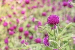 Purpurrotes Hintergrundgrün des Amarants, purpurrot Lizenzfreies Stockbild