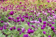 Purpurrotes Hintergrundgrün des Amarants, purpurrot Stockfotografie