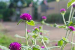 Purpurrotes Hintergrundgrün des Amarants, purpurrot Stockbilder