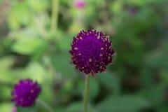 Purpurrotes Hintergrundgrün des Amarants, purpurrot Lizenzfreie Stockbilder