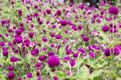Purpurrotes Hintergrundgrün des Amarants, purpurrot Stockbild