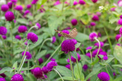 Purpurrotes Hintergrundgrün des Amarants, purpurrot Stockfotos